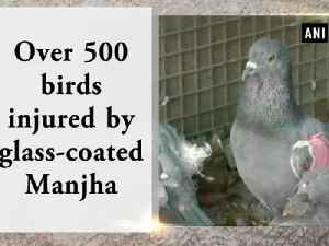 News video: Over 500 birds injured by glass-coated Manjha
