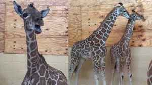 News video: Baby Giraffe 'Moos' to Mom for Help Before Seeing the Vet