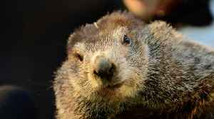 News video: Famous Groundhog Makes U.S. Winter Prediction