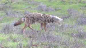 News video: Volunteers Search for Coyote with Head Stuck in Jar