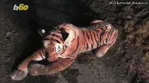 News video: Oops! Stuffed Tiger Causes 45-Minute Standoff With Police