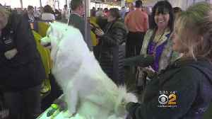 News video: Backstage At The Westminster Kennel Club Dog Show