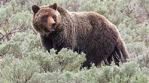 News video: Grizzly Hunts Could Be Held Soon Near Yellowstone