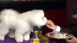 News video: Westminster top dog Flynn enjoys a champion's lunch