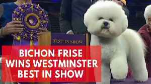 News video: Flynn The Bichon Frise Wins Best In Show At Westminster