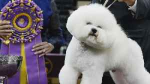 Flynn the bichon frise fetches top prize at dog show [Video]