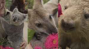News video: See How Koalas, Kangaroos, Wombats and More Celebrate Valentine's Day at Zoo