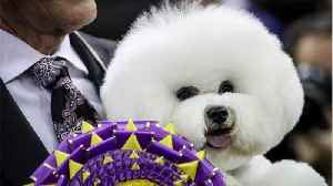 News video: A dog named Flynn just won Best in Show at the Westminster Dog Show, and OMG THE PICTURES