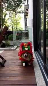 News video: Chinese New Year Lion Corgi