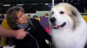 News video: Meet the champions of the Westminster Dog Show