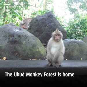 News video: Hang With 700 Monkeys In This Sacred Forest