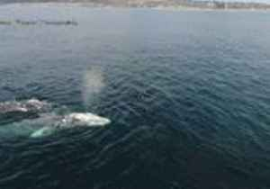 News video: Drone Footage Captures Gray Whales Getting into the 'Valentine's Day Spirit' in San Diego
