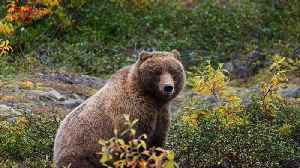 News video: New Regulations May Put Yellowstone's Grizzly Bears In Danger of Being Hunted