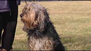News video: VIDEO: DelVal student on mission to save otterhound