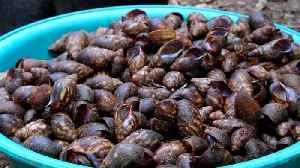 News video: Snail entrepreneur sells out fast in Cameroon