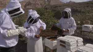 News video: Hybrid bee at the heart of UAE sustainable honey plan