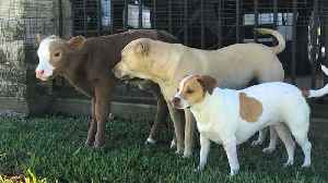 News video: Cow Rescued After Hurricane Acts Just Like One of Her Adopted Dog Siblings