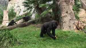 News video: Gorillas collects leaf on the grass