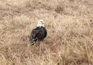 News video: Game Warden Warms Up Ice-Covered Eagle in Truck Following Ice Storm