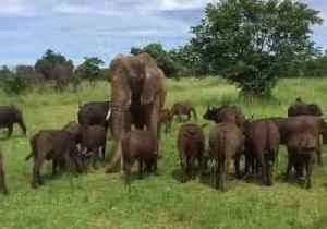 News video: Elephant Mingles With Herd of Buffalo