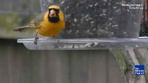 News video: Rare Yellow Cardinal Seen in Alabama
