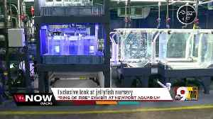 News video: Exclusive: A nursery for jellyfish