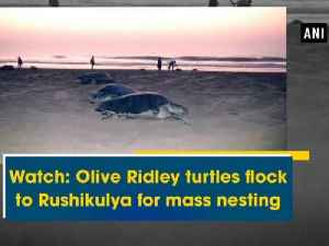 News video: Watch: Olive Ridley turtles flock to Rushikulya for mass nesting