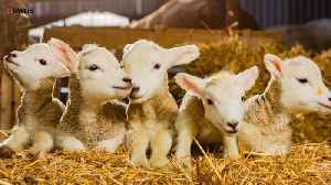 News video: Rare Lamb Quintuplets All Named After Britain's Olympic Medalists