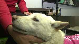 News video: Dog Up for Adoption After Olympian Rescued Her from South Korean Meat Trade