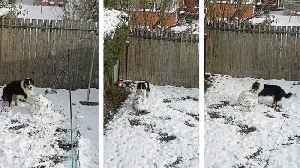 News video: (Dog) walking in the air: Clever canine is caught attempting to 'build a snowman' in backyard, as snow conti