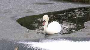 News video: Swan Acts As Icebreaker For Ducks To Swim Through Frozen Lake
