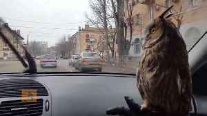 News video: Cute Pet Owl Captivated By Windshield Wipers