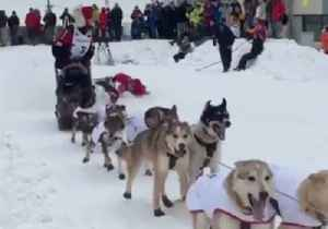 News video: Second-Sled Driver Takes a Spill as Iditarod Begins