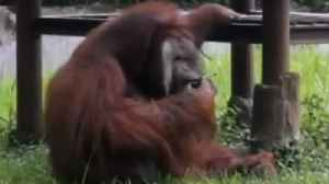 News video: Video From Controversial Indonesian Zoo Shows Orangutan Smoking a Cigarette