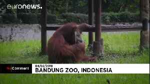 News video: Indonesian zoo 'regrets' video of smoking orangutan