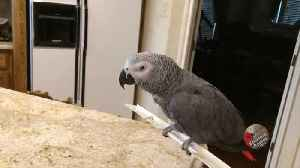 News video: Excited Parrot Enjoys An Inventive New Way Of Flying