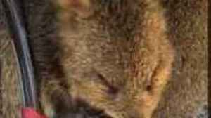 Cyclist Discovers Cute Quokka Licking Her Bike Pedal [Video]