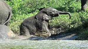 News video: Baby elephant struggles to climb out of river