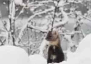 News video: Pine Marten Peeks Out From Snow in Glacier Bay National Park