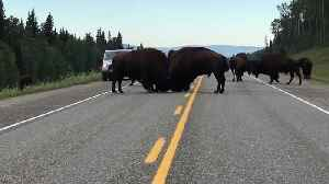 News video: Buffaloes fight in the middle of highway in British Columbia