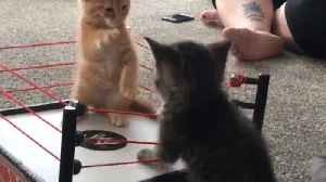 News video: Adorable Kittens Play In A Boxing Ring