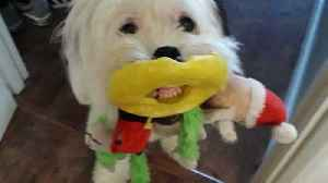 News video: Dog Gives A Toothy Grin While Holding Bunch Of Toys In Mouth