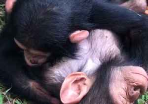 News video: Infant Chimpanzees Sleep Where They Drop, Cuddled Into Each Other