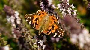 News video: Tiny Butterfly Can Travel Thousands of Miles at Once