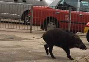 News video: Wild Boar Trots Along Urban Street 'After Victoria Harbour Swim'