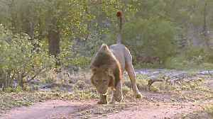News video: King Of The Jungle Winces Like A Kitten When Stepping On A Thorn