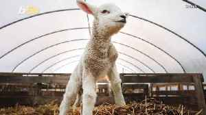 News video: Billy the BIG Baby Lamb Weighed as Much as a Toddler at Birth