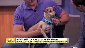 News video: Pet of the week: Finn is a playful 3-year-old Chihuahua mix wants to be adopted