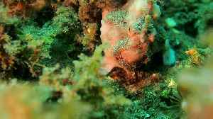 News video: Frogfish Hunting