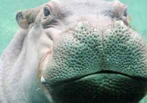 News video: San Antonio Zoo's Timothy Eyes Fiona, Calls Himself a 'Hippo Looking for Love'
